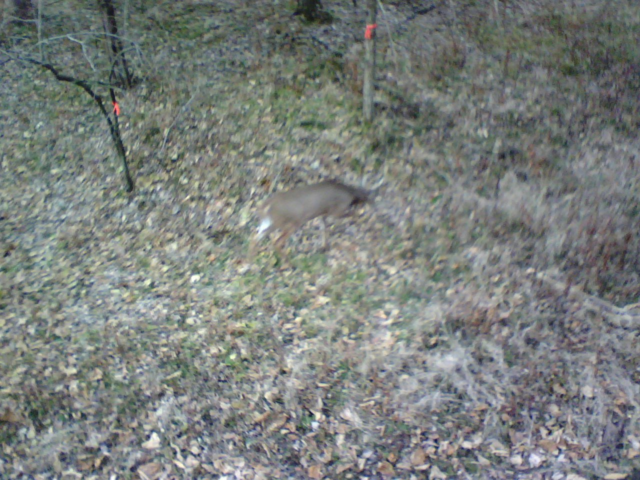 Look closely, a pic of whitetail buck he took from his deer stand in ...